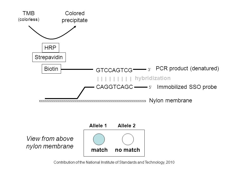Contribution of the National Institute of Standards and Technology, 2010 GTCCAGTCG PCR product (denatured) Biotin Strepavidin HRP TMB (colorless) Colo