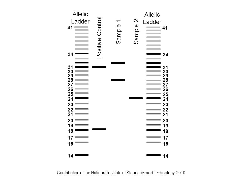 Contribution of the National Institute of Standards and Technology, 2010 Allelic Ladder Allelic Ladder Positive Control Sample 1Sample 2 14 18 24 34 3