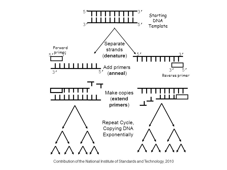 Contribution of the National Institute of Standards and Technology, 2010 Separate strands (denature) Add primers (anneal) Make copies (extend primers)