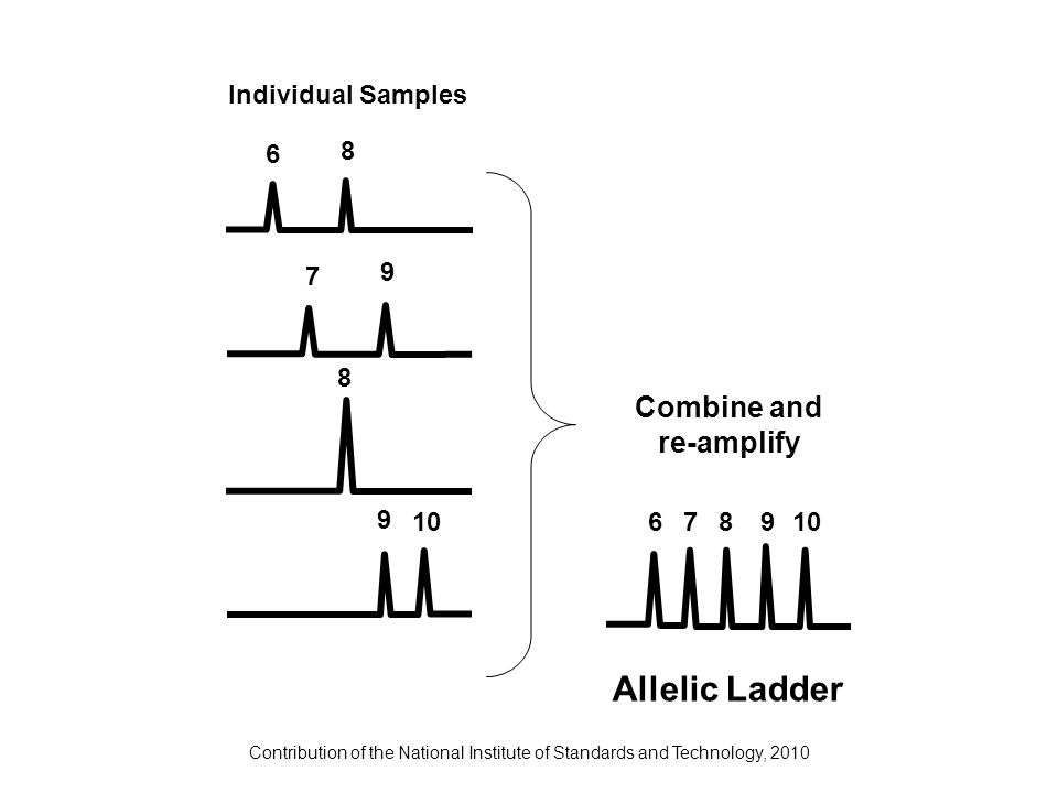 Contribution of the National Institute of Standards and Technology, 2010 Combine and re-amplify Allelic Ladder Individual Samples 6 8 7 9 8 9 10 6789