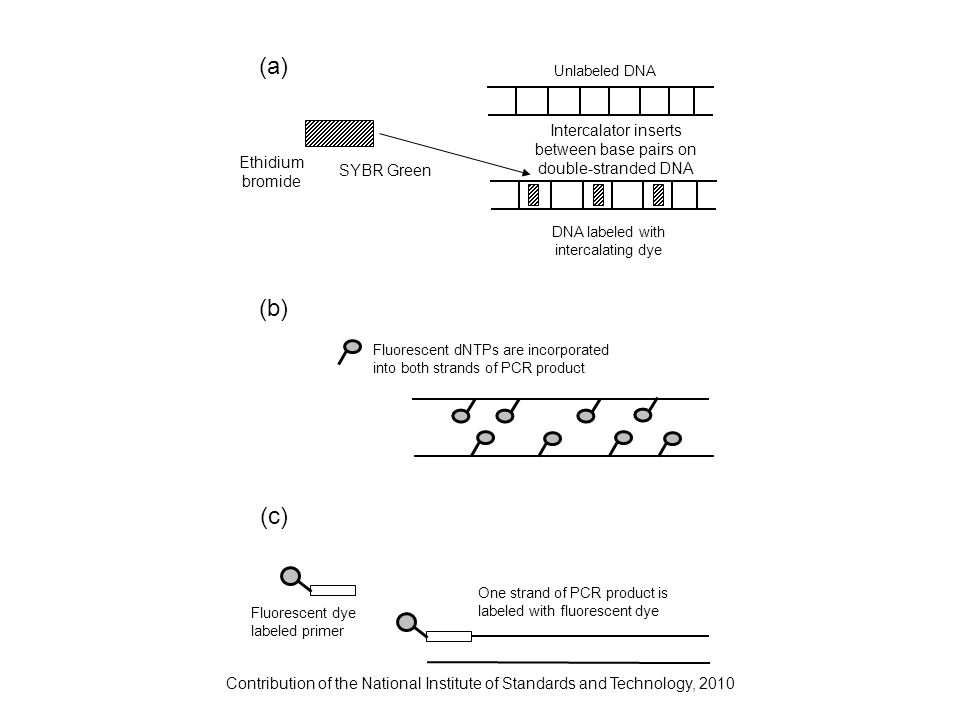 Contribution of the National Institute of Standards and Technology, 2010 Fluorescent dNTPs are incorporated into both strands of PCR product Ethidium