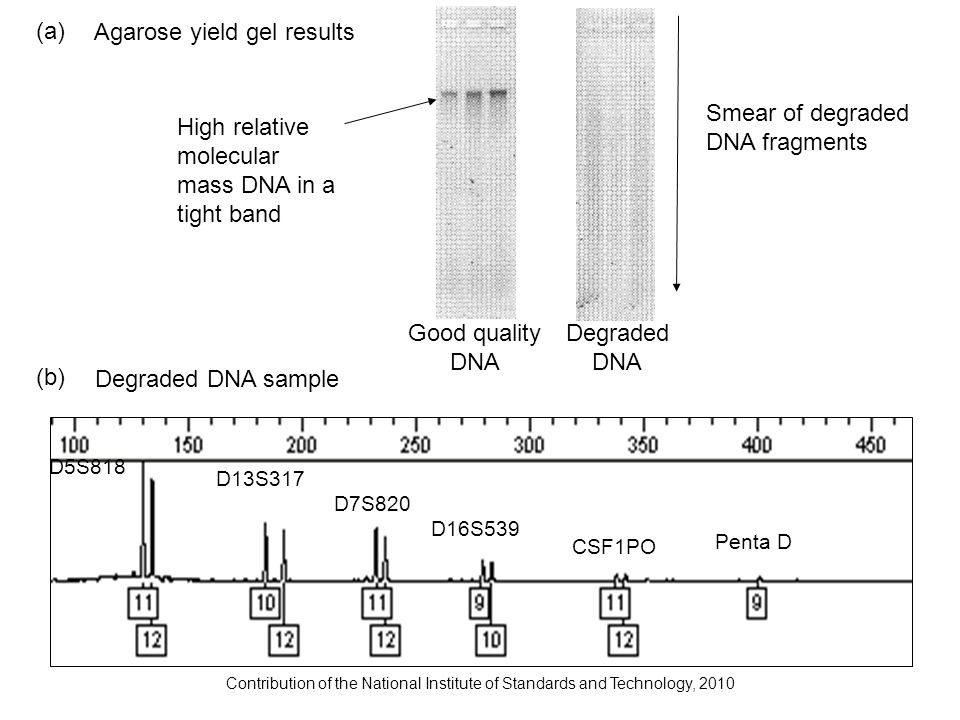 Contribution of the National Institute of Standards and Technology, 2010 Degraded DNA sample D5S818 D13S317 D7S820 D16S539 CSF1PO Penta D Agarose yiel