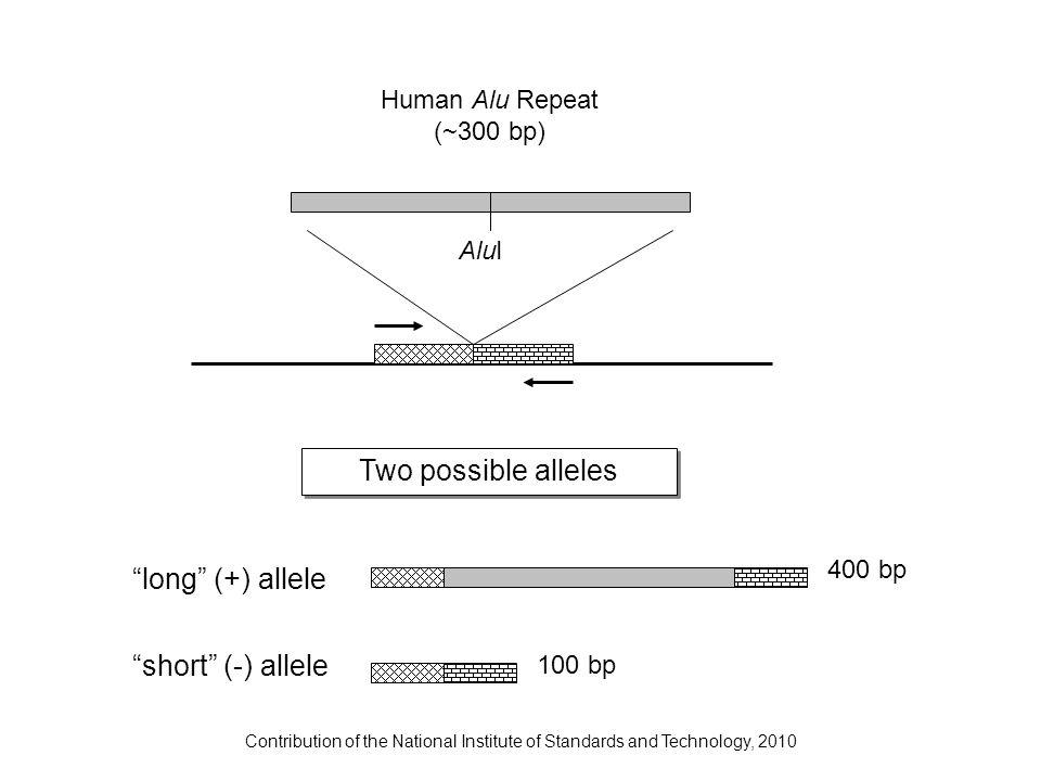 Two possible alleles Human Alu Repeat (~300 bp) AluI 400 bp 100 bp long (+) allele short (-) allele