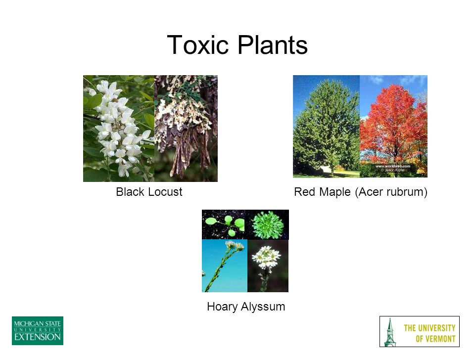 Toxic Plants Red Maple (Acer rubrum)Black Locust Hoary Alyssum