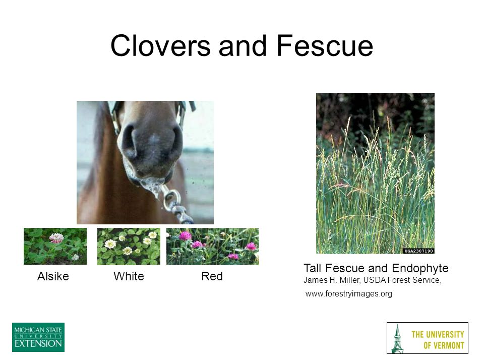 Clovers and Fescue Tall Fescue and Endophyte James H.
