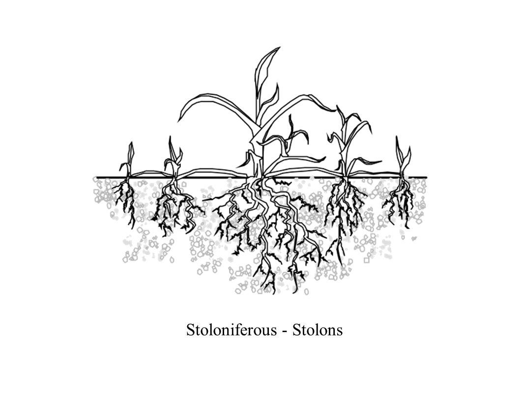 Stoloniferous - Stolons
