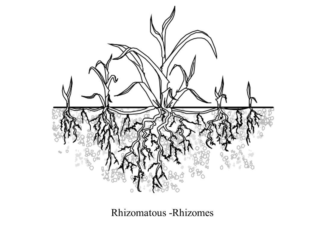 Rhizomatous -Rhizomes
