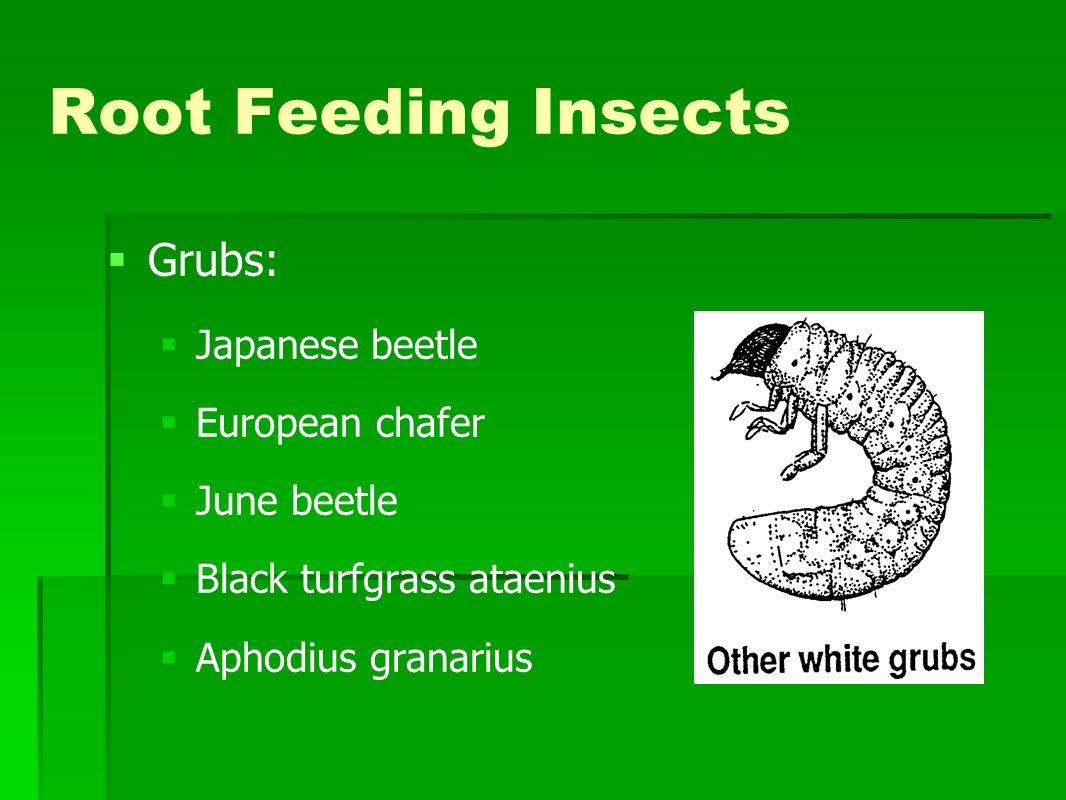 Root Feeding Insects Grubs: Japanese beetle European chafer June beetle Black turfgrass ataenius Aphodius granarius
