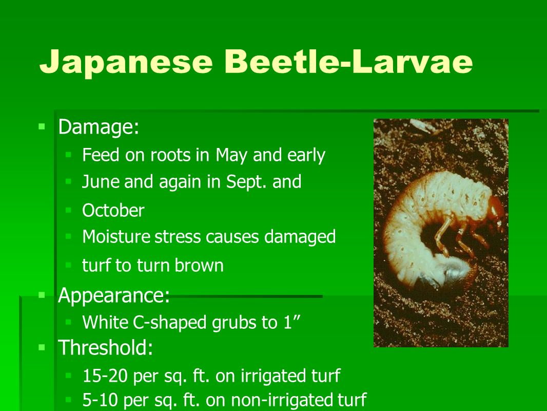 Japanese Beetle-Larvae Damage: Feed on roots in May and early June and again in Sept. and October Moisture stress causes damaged turf to turn brown Ap