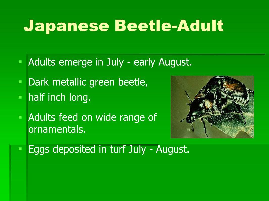 Japanese Beetle-Adult Adults emerge in July - early August. Dark metallic green beetle, half inch long. Adults feed on wide range of ornamentals. Eggs