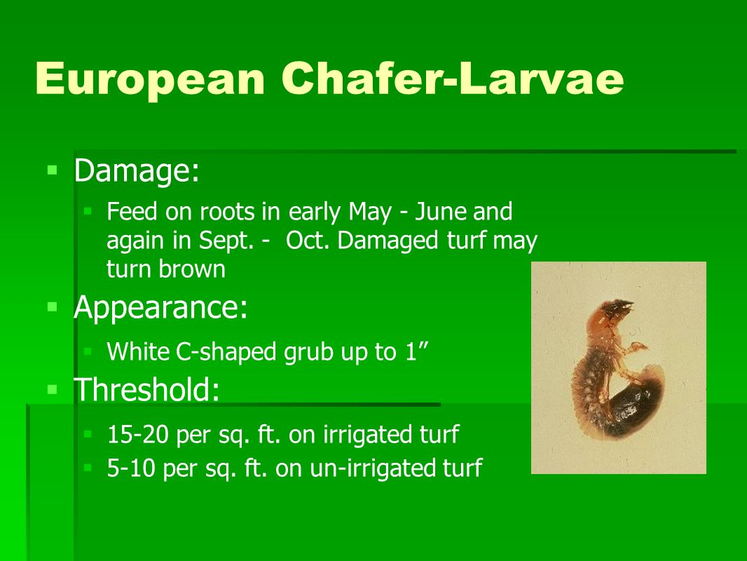 European Chafer-Larvae Damage: Feed on roots in early May - June and again in Sept.