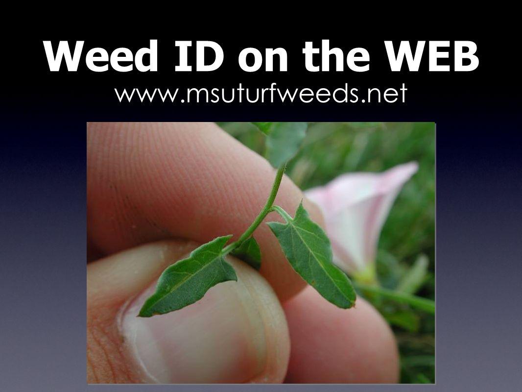 www.msuturfweeds.net Weed ID on the WEB