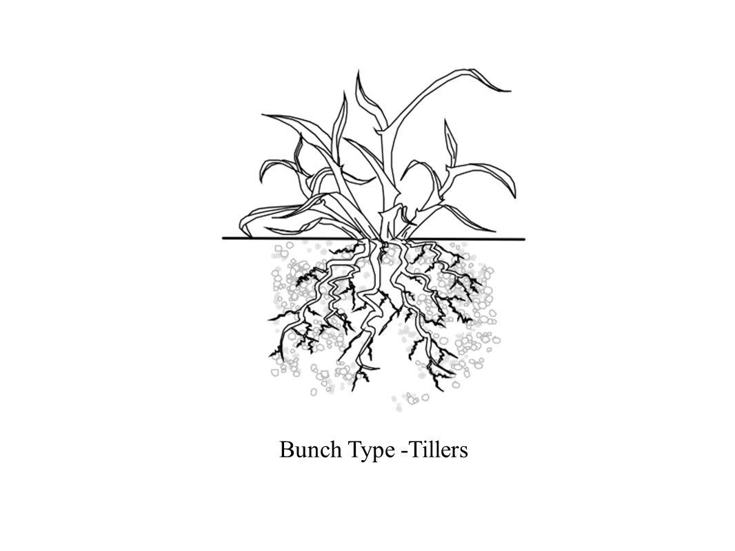 Bunch Type -Tillers