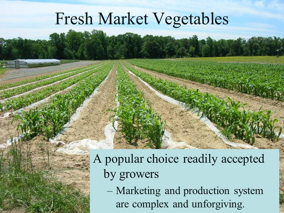Fresh Market Vegetables A popular choice readily accepted by growers –Marketing and production system are complex and unforgiving.