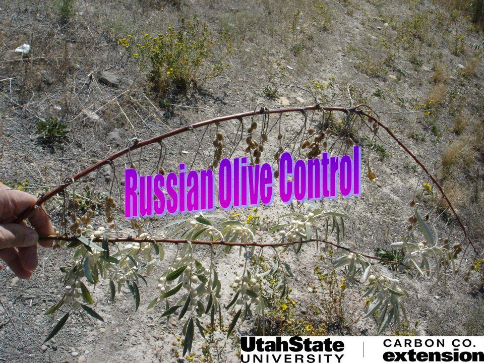 Russian olive (Eleagnus angustifolia) THE GOOD Windbreak Wildlife habitat Wildlife feed source Drought tolerant Nitrogen fixation