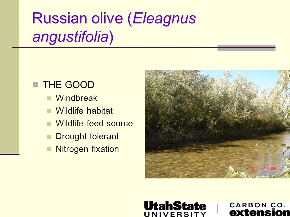 Russian olive (Eleagnus angustifolia) THE BAD Spread by suckers and seeds Displaces native vegetation Reduces bio-diversity Reduces land use and values