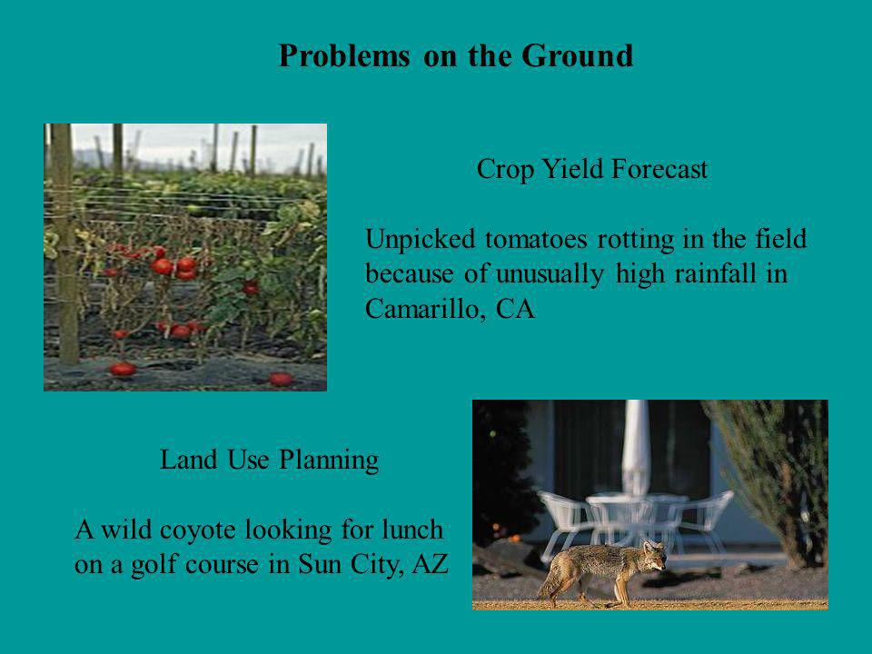 Crop Yield Forecast Unpicked tomatoes rotting in the field because of unusually high rainfall in Camarillo, CA Land Use Planning A wild coyote looking