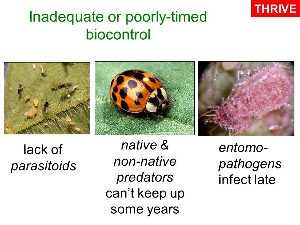 Inadequate or poorly-timed biocontrol entomo- pathogens infect late THRIVE native & non-native predators cant keep up some years lack of parasitoids