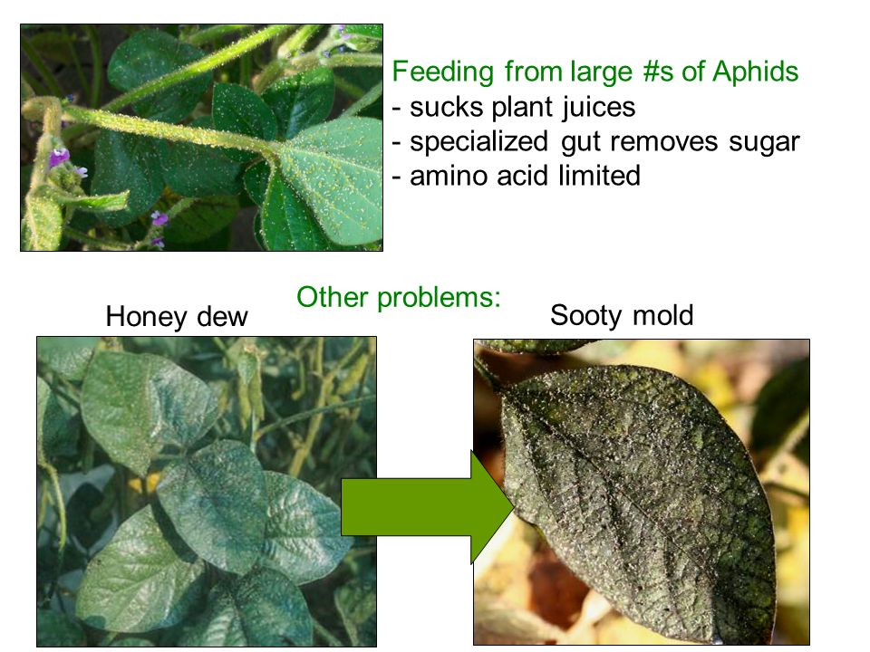 Feeding from large #s of Aphids - sucks plant juices - specialized gut removes sugar - amino acid limited Honey dew Sooty mold Other problems: