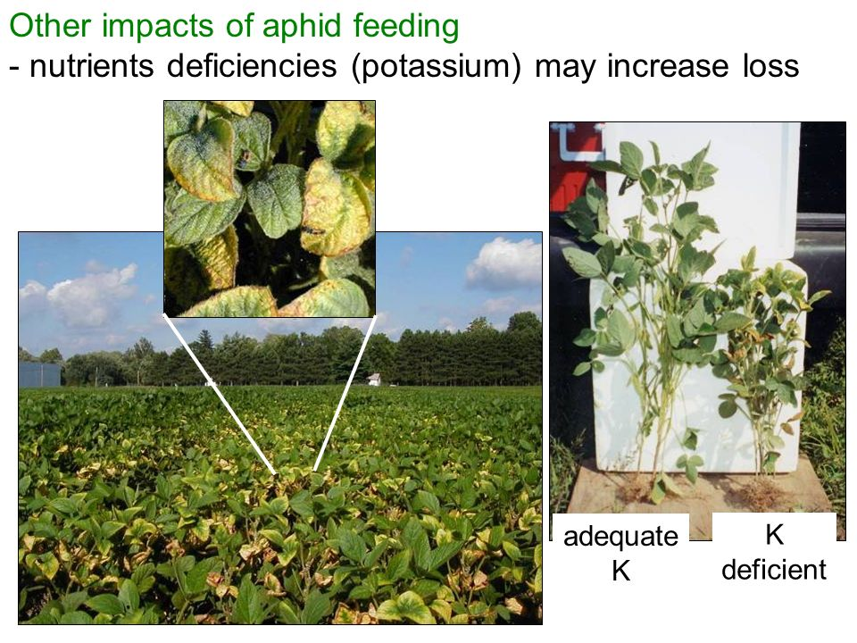 Other impacts of aphid feeding - nutrients deficiencies (potassium) may increase loss K deficient adequate K