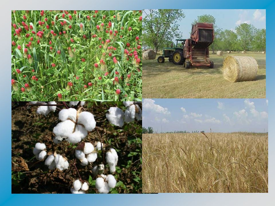 2005 Escambia County Agriculture Facts CropAcreage Expected Production Unit Value Gross Value Cotton11,0909,115, 980 lbs$0.73/lb$6,654,665 Cottonseed11,0907,347 tons$95/ton$697,000 Peanuts8,97014, 352 tons$495/ton$7,104,240 Corn1,602000 Wheat1,50093,000 bu$3.40/bu$316,000 Oats35530,175 bu$1.75/bu$52,806 Soybeans1,26050,400 bu$6.21/bu$312,894 Hay6,602$300/ac$1,980,600 Pecans200000