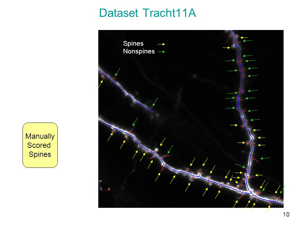 Dataset Tracht11A Spines Nonspines 10 Manually Scored Spines