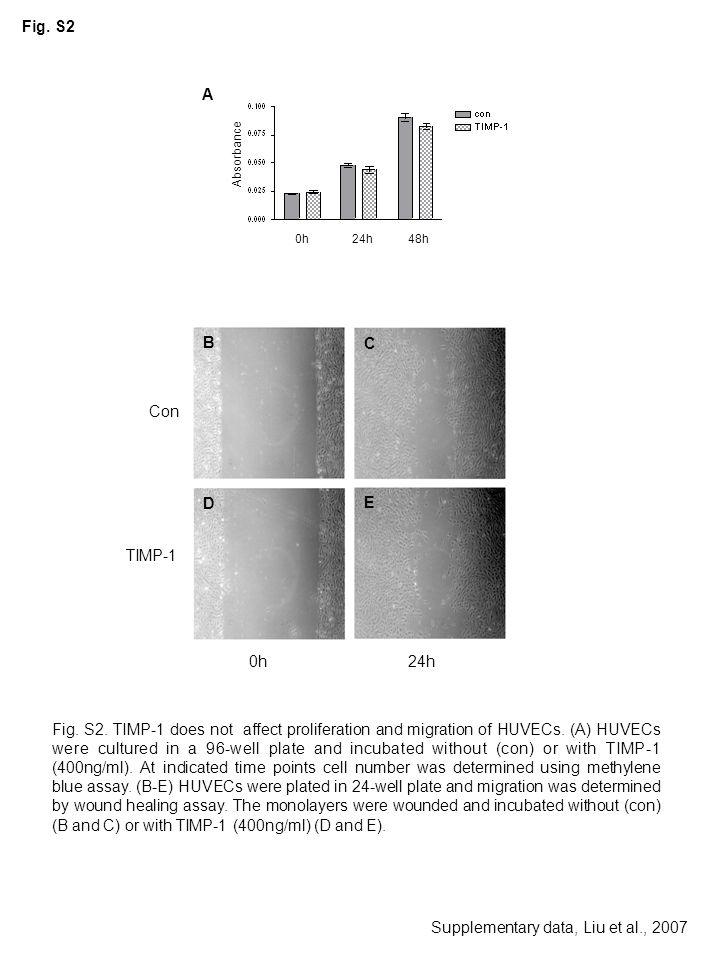 Absorbance A 0h 24h 48h Con TIMP-1 B E D C 0h24h Fig. S2 Supplementary data, Liu et al., 2007 Fig. S2. TIMP-1 does not affect proliferation and migrat