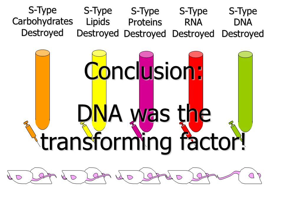 S-Type Carbohydrates Destroyed S-Type Lipids Destroyed S-Type Proteins Destroyed S-Type RNA Destroyed S-Type DNA Destroyed Conclusion: DNA was the tra