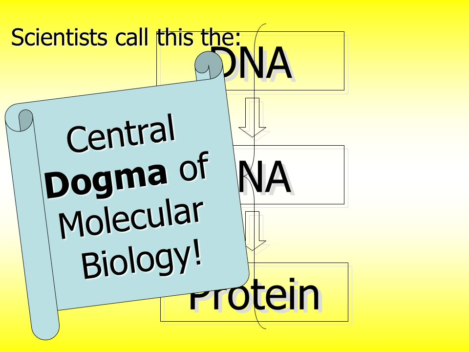 DNA RNA Protein Scientists call this the: Central Dogma of Molecular Biology!