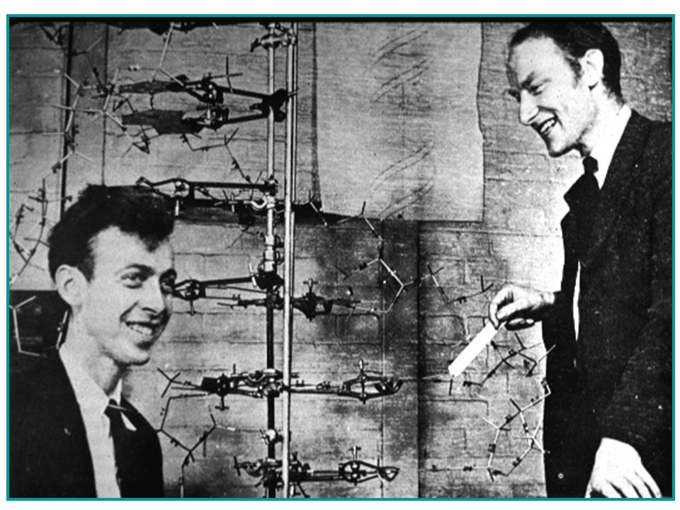 The Race to Discover DNAs Structure James Watson Francis Crick 1953 Compiled data from previous scientists to build a double-helical model of DNA