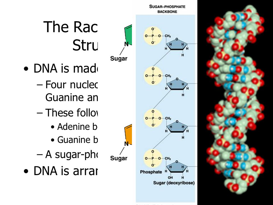 The Race to Discover DNAs Structure was Over DNA is made up of: –Four nucleotides: Adenine, Thymine, Guanine and Cytosine –These follow the rules of b