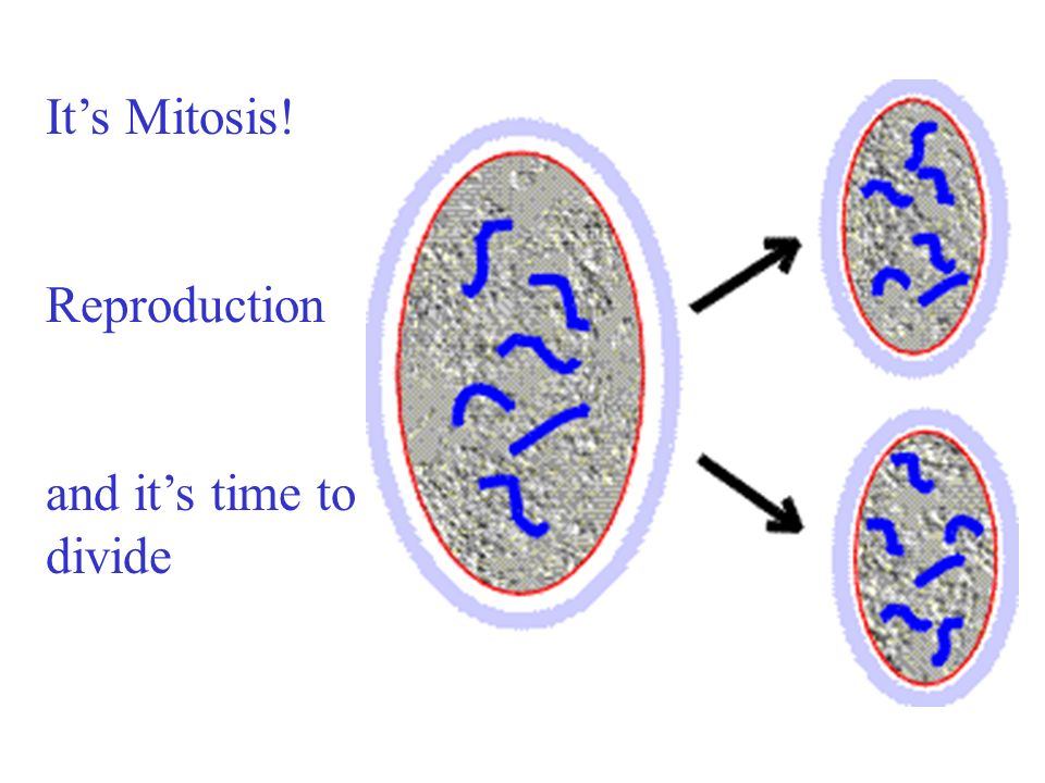 After Interphase, when the cell has grown again synthesis is done and mitosis begins