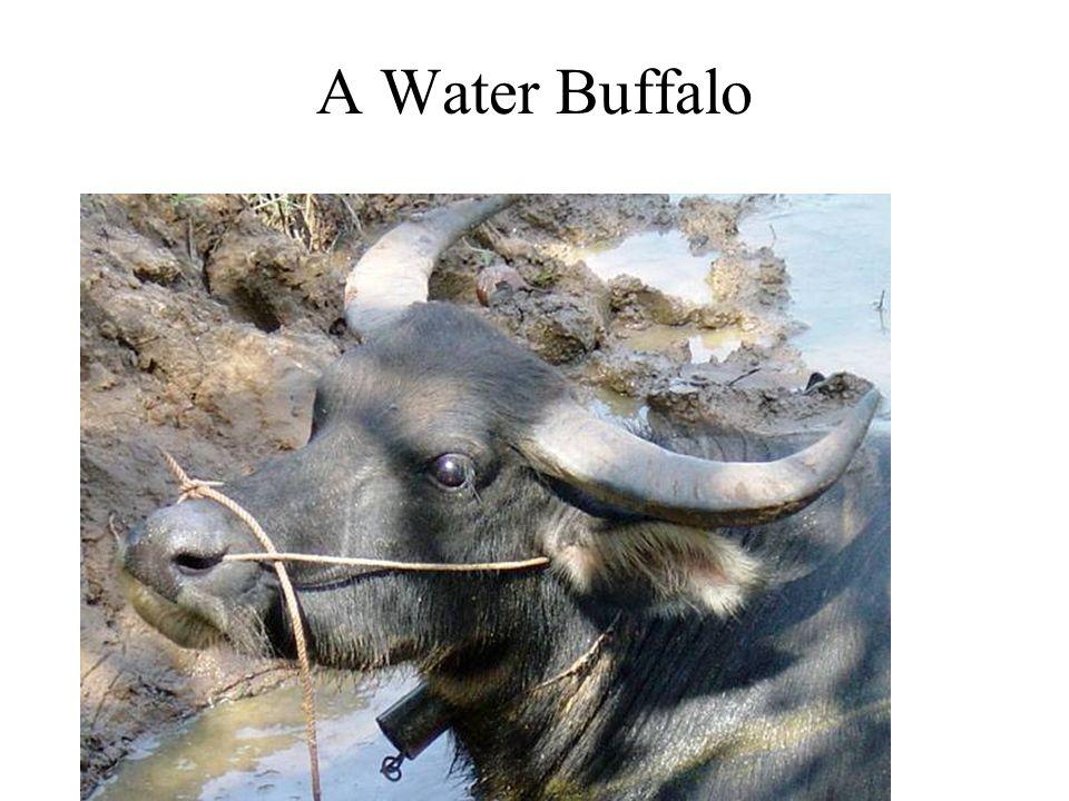 A Water Buffalo