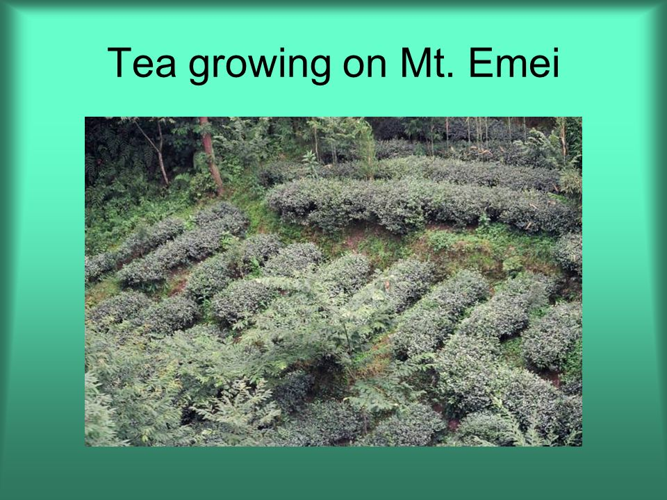 Tea growing on Mt. Emei