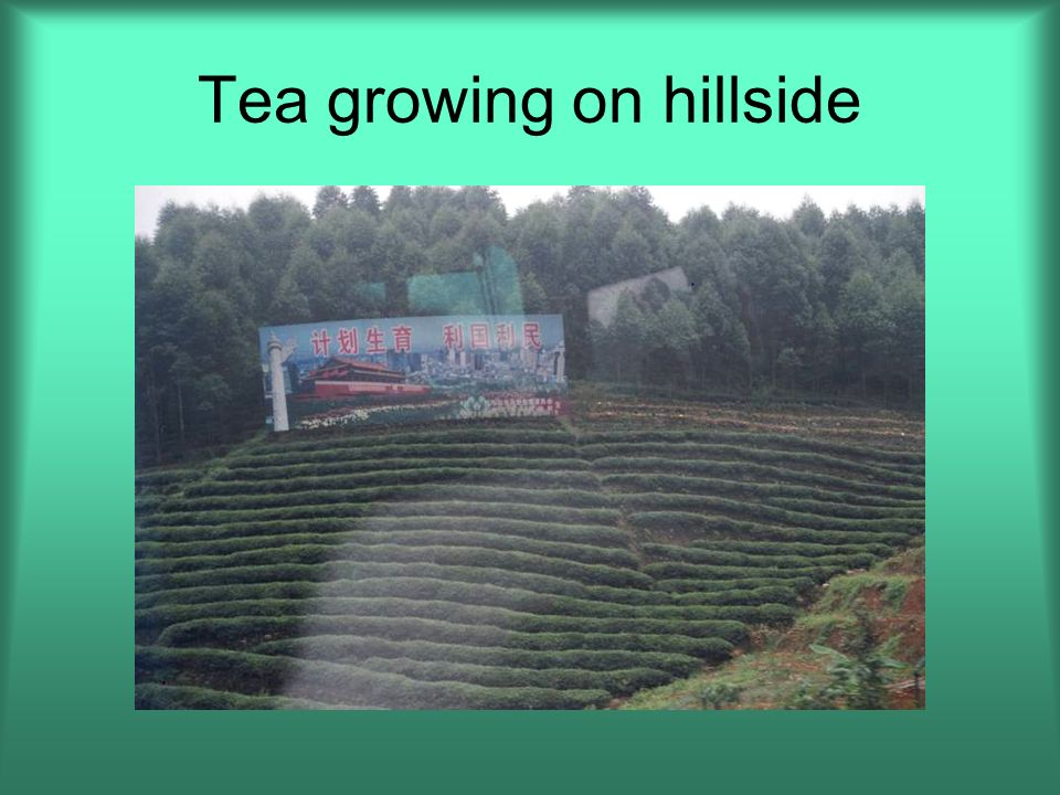 Tea growing on hillside