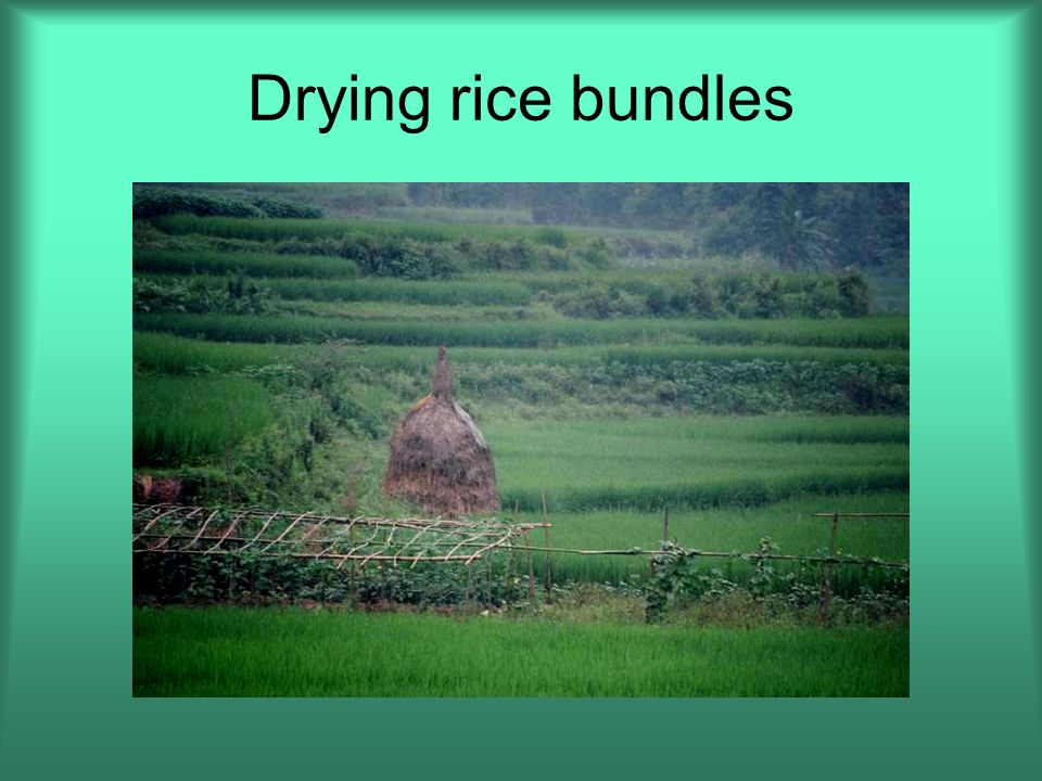 Drying rice bundles