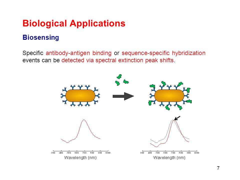 Biological Applications 7 Biosensing Specific antibody-antigen binding or sequence-specific hybridization events can be detected via spectral extincti