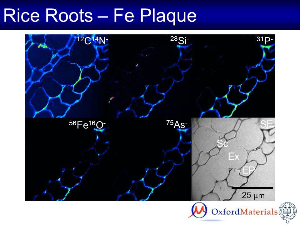 Rice Roots – Fe Plaque 25 µm EP Ex Sc SE 12 C 14 N - 56 Fe 16 O - 31 P - 28 Si - 75 As -