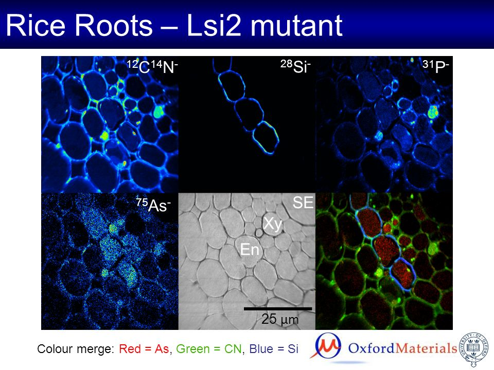Rice Roots – Lsi2 mutant 12 C 14 N - 75 As - 31 P - SE 28 Si - 25 µm Xy En Colour merge: Red = As, Green = CN, Blue = Si