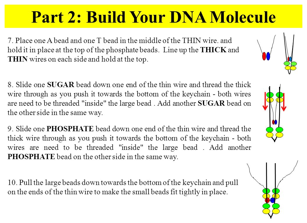 Part 2: Build Your DNA Molecule 10.