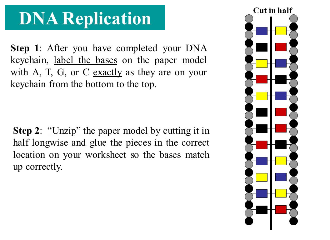 DNA Replication Step 1: After you have completed your DNA keychain, label the bases on the paper model with A, T, G, or C exactly as they are on your keychain from the bottom to the top.