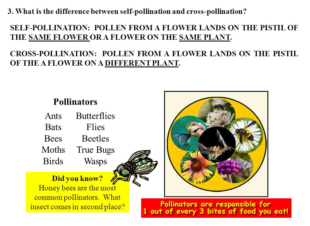 Ants Bats Bees Moths Birds Butterflies Flies Beetles True Bugs Wasps Pollinators Did you know? Honey bees are the most common pollinators. What insect