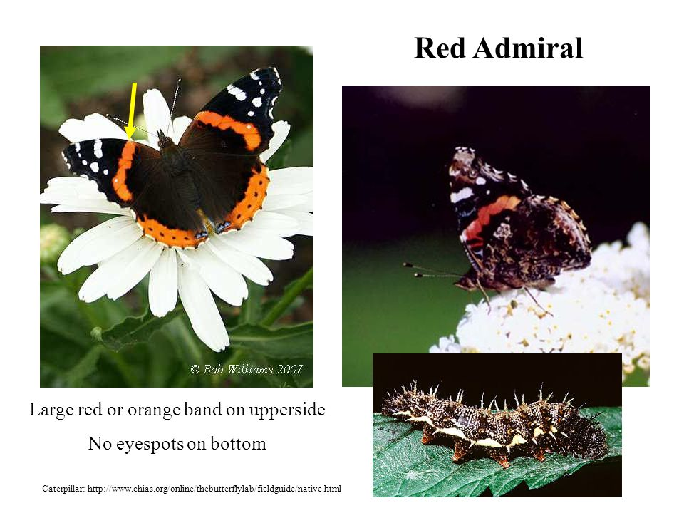 Red Admiral Large red or orange band on upperside No eyespots on bottom Caterpillar: http://www.chias.org/online/thebutterflylab/fieldguide/native.html