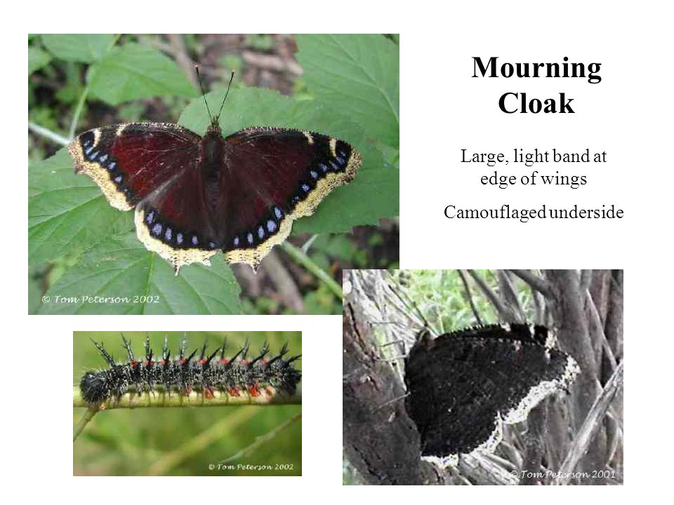 Mourning Cloak Large, light band at edge of wings Camouflaged underside