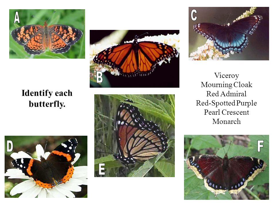 Identify each butterfly. Viceroy Mourning Cloak Red Admiral Red-Spotted Purple Pearl Crescent Monarch