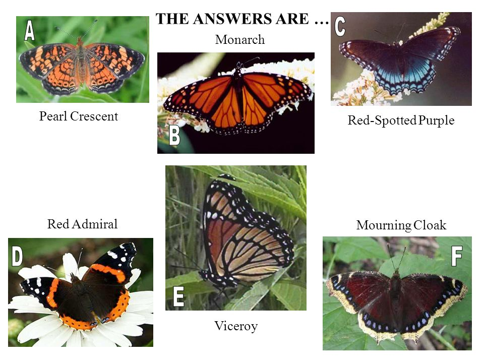Viceroy Red Admiral Mourning Cloak Red-Spotted Purple Pearl Crescent THE ANSWERS ARE … Monarch