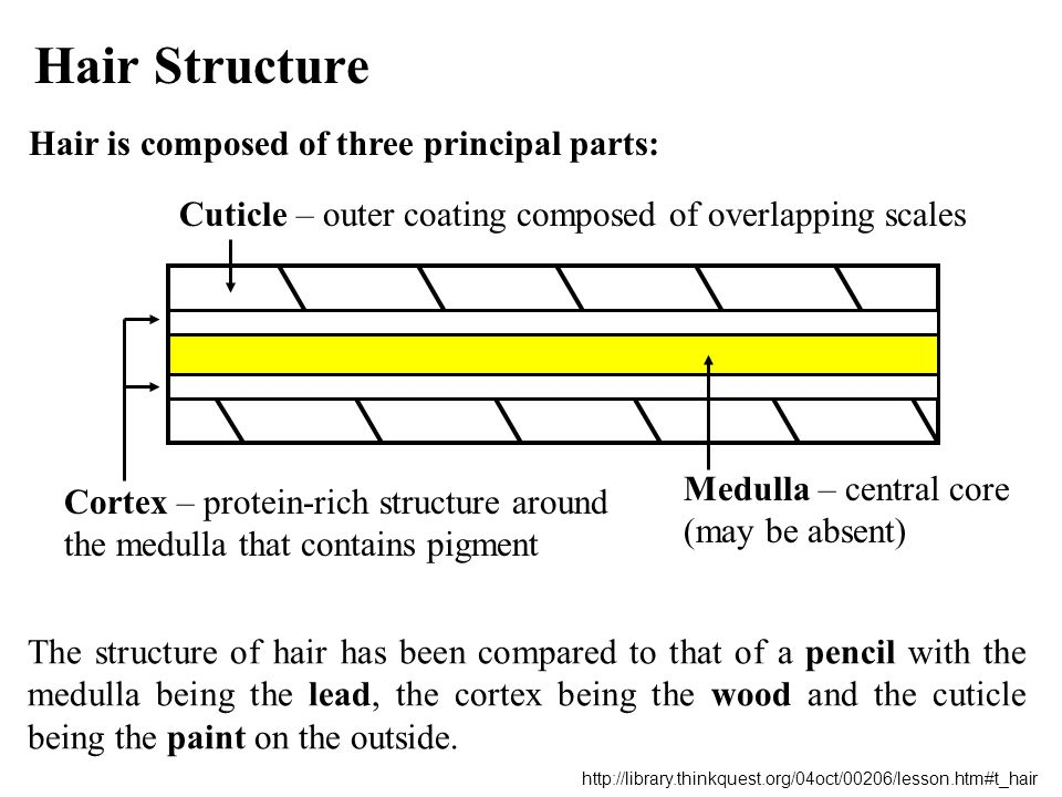 Hair Structure Hair is composed of three principal parts: The structure of hair has been compared to that of a pencil with the medulla being the lead,