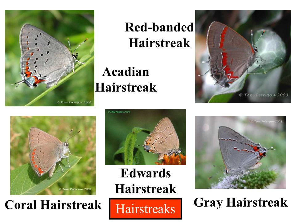 Acadian Hairstreak Gray Hairstreak Red-banded Hairstreak Edwards Hairstreak Coral Hairstreak Hairstreaks