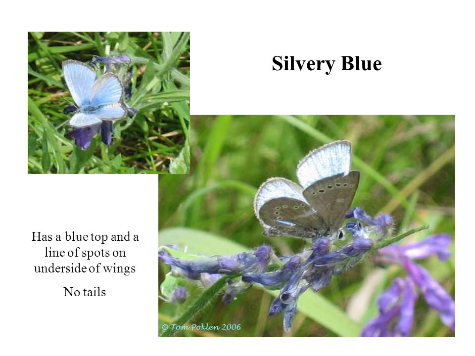 Silvery Blue Has a blue top and a line of spots on underside of wings No tails