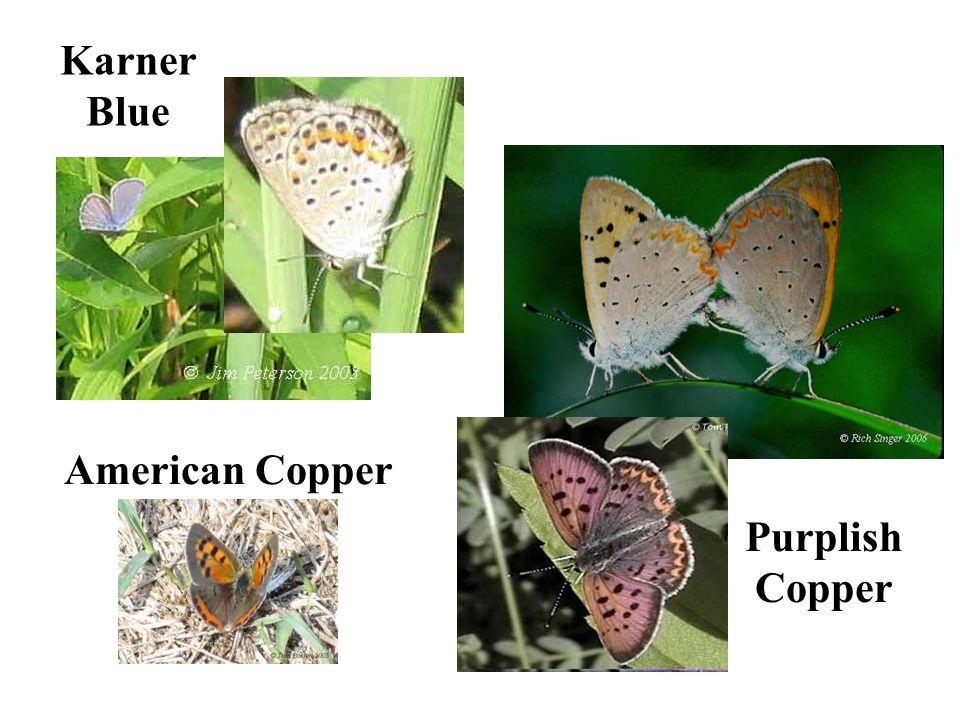 American Copper Karner Blue Purplish Copper